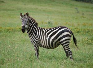 Zebra - czyli jak bezpiecznie przejść przez ulicę?