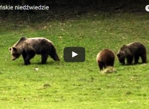 Niedźwiedzie w Polsce– czyli królowie gór