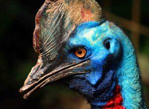 Ptaszek czy ptaszydło? Kazuar- najniebezpieczniejszy ptak świata
