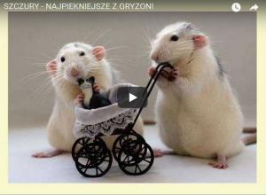 Szczurek hodowlany- tyle radości naraz :)
